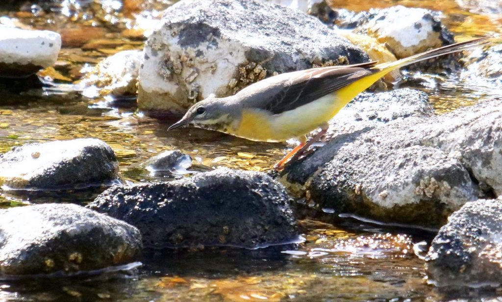 Grey Wagtail, Tideswell Dale