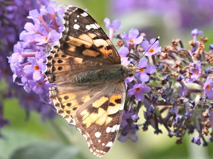 Painted Lady in Tideswell