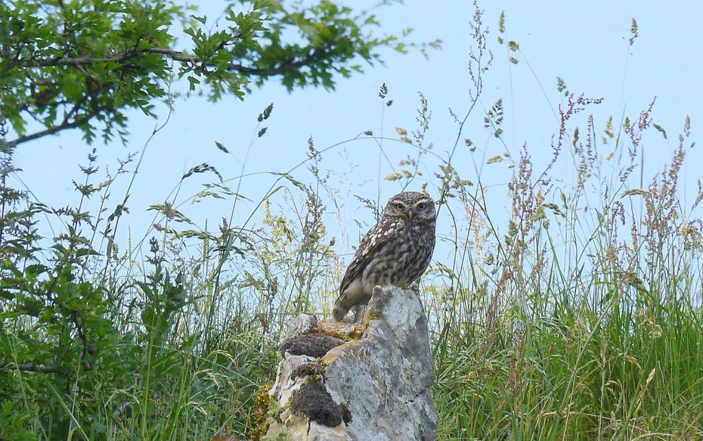 Little Owl in Hay Dale, Photo: Howard Crowe