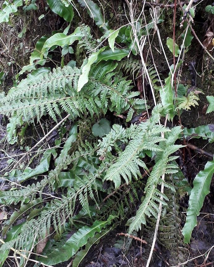 Hart's tongue fern (Asplenium scolopendrium) and hard shield fern (Polystichum aculeatum)