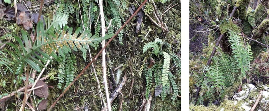 Polypody (Polypodium interjectum), with some maidenhair spleenwort (Asplenium trichomanes) in Millers Dale